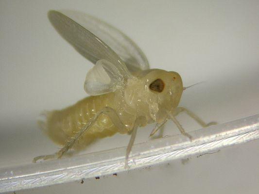 eine zikade wird erwachsen