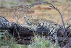 Einem Leoparden wildlife.... (Reload)