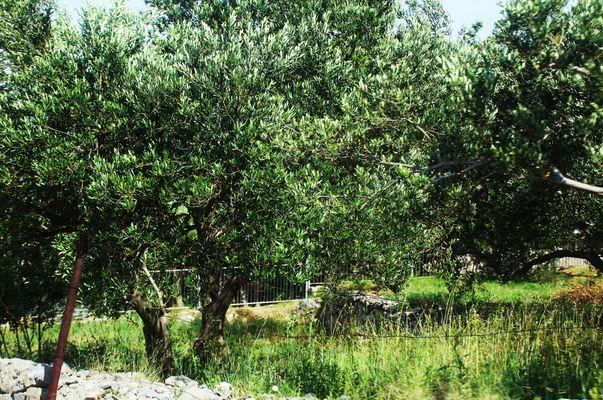 Einen Blick in die Olivengärten werfen.....