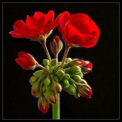Einen Blumenkasten kann man sich ohne Geranien eigentlich nicht vorstellen