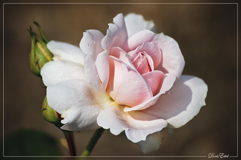 Einen Rosentraum...