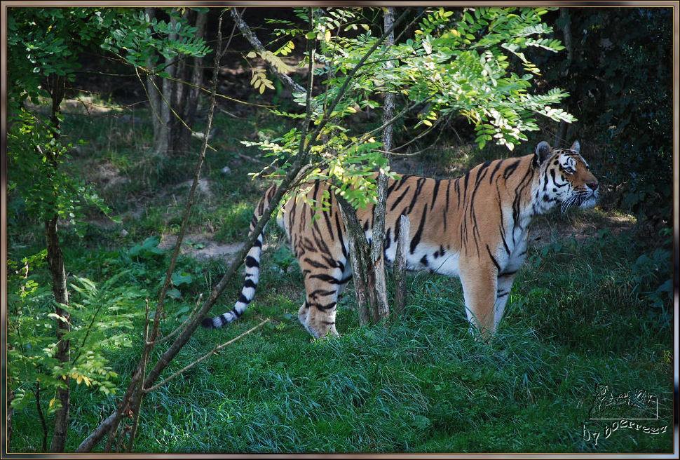 Einer der 3 Wuppertaler Tiger