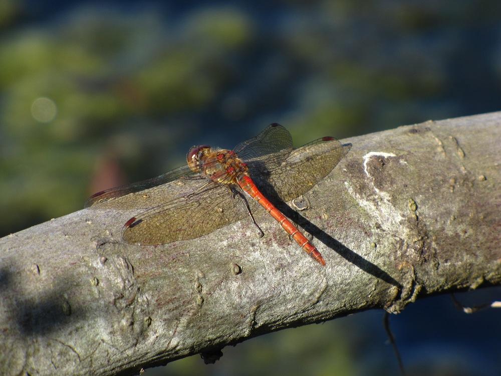 einer Libelle auf die pelle gerückt