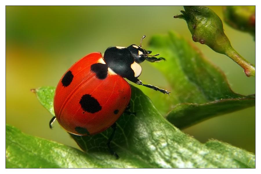 Einer unserer seltensten Marienkäfer
