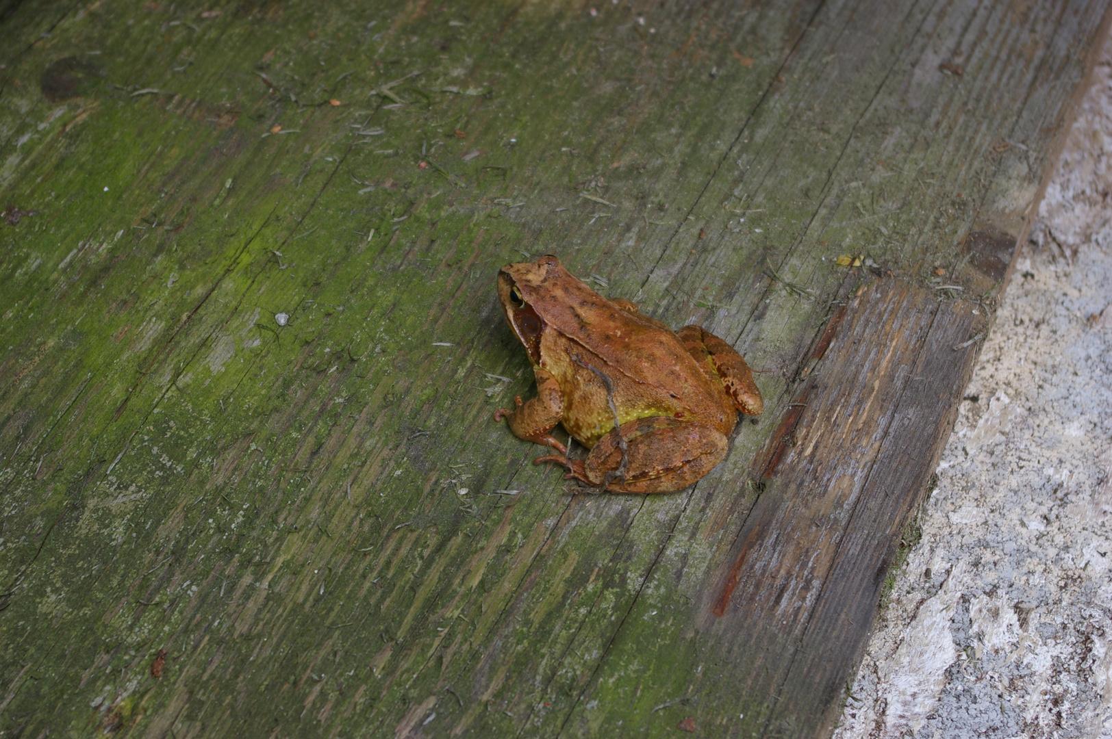 Einfach ein Frosch