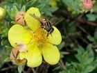 einfach eine Biene