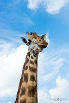 einfach eine Giraffe