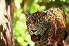Einfach Jaguar