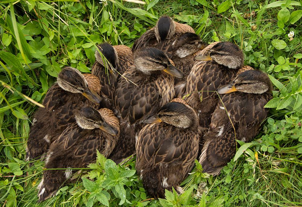 Einfach kuschlig Entenkinder am Olchinger See