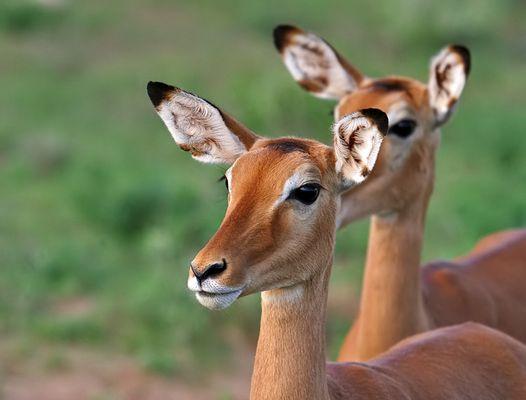 einfach nur blöd schauende Impalas :-)