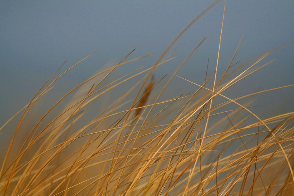 ...einfach nur Dünengras im warmen Wind...