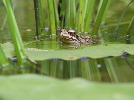 einfach nur ein Frosch
