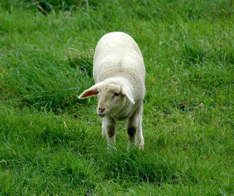 Einfach nur ein Schaf