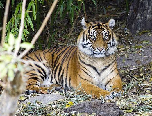 einfach nur ein Tiger der da sitzt und guckt