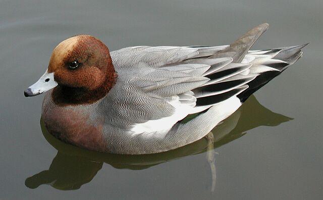 Einfach nur eine Ente im Weiher