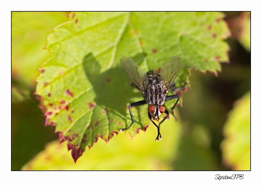 Einfach nur eine gewöhnliche Fliege...
