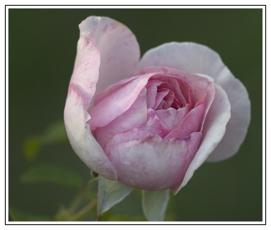Einfach nur ne Rose