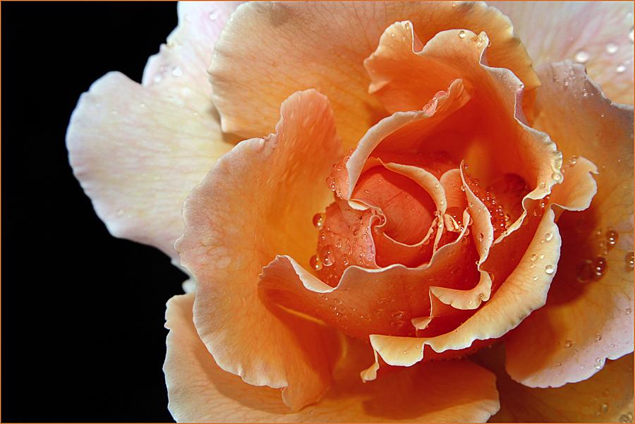 ... einfach nur Rose....