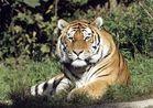 Einfach nur Tiger