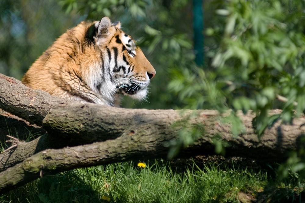 ...einfach nur Tiger
