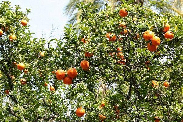 einfach Orangen