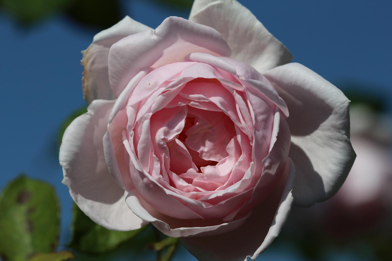 Einfach: Rose