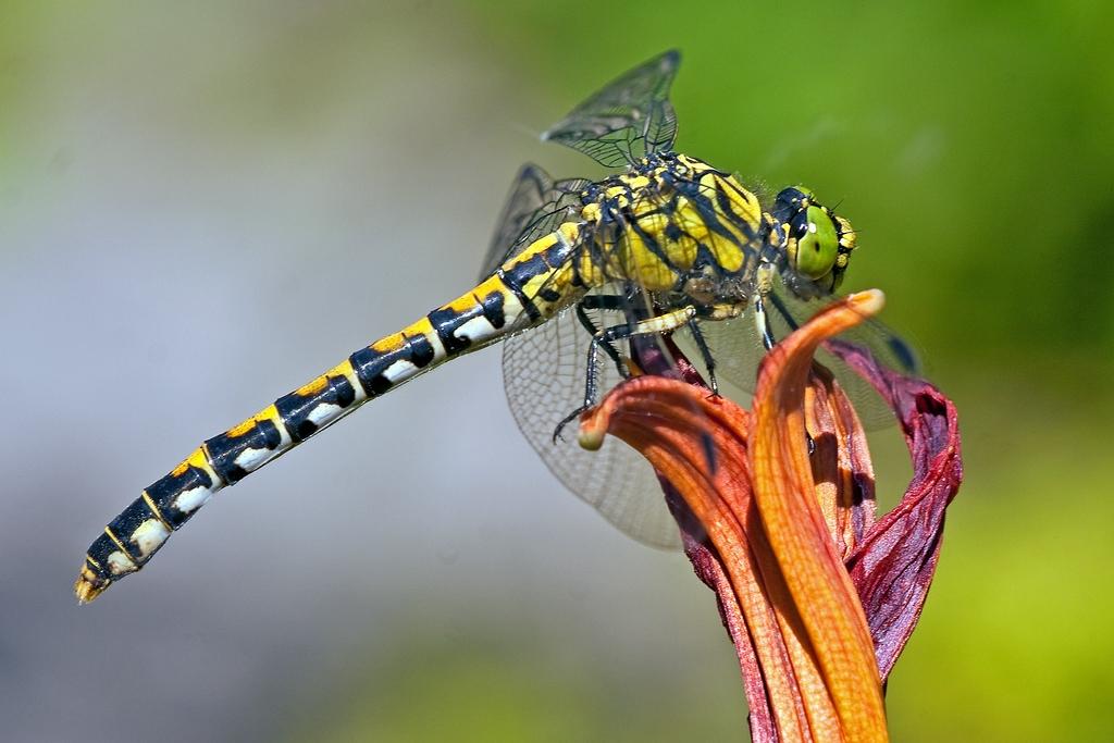 Einfach schön diese Libellenart