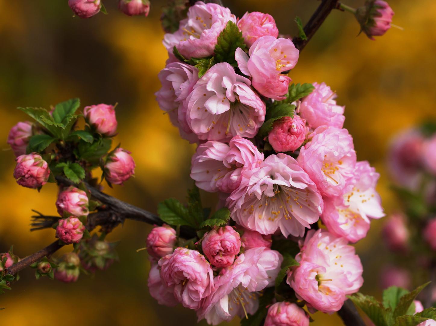 einfach schön diese Mandelblüte