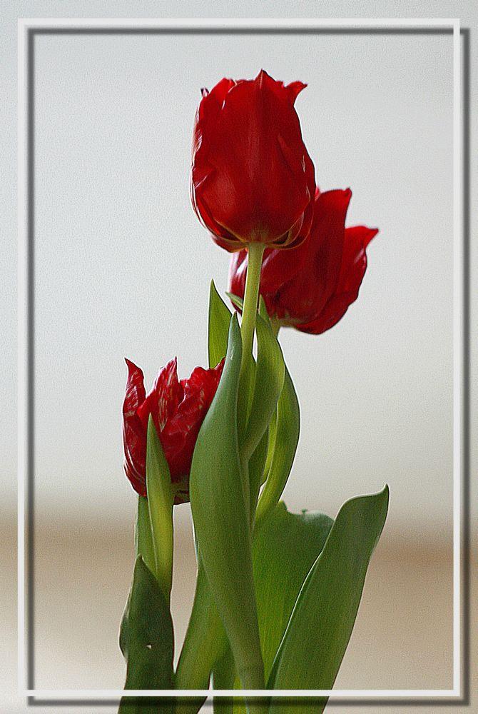 .....einfach Tulpen.....