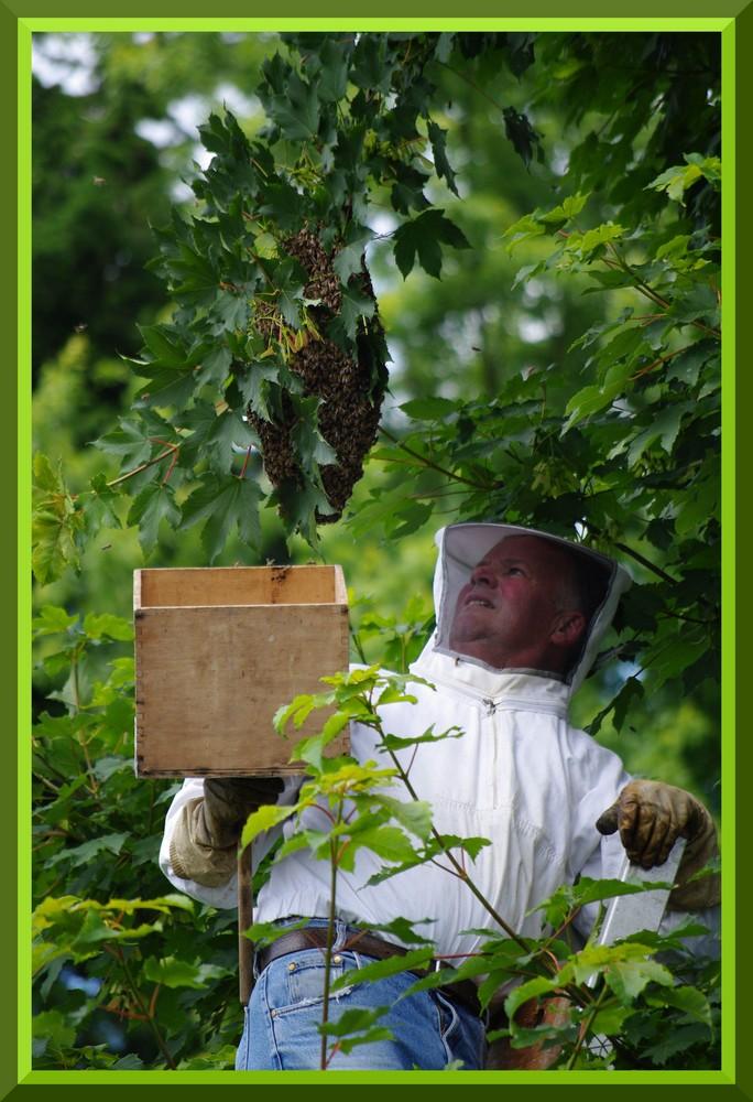 Einfangen eines Bienenvolkes