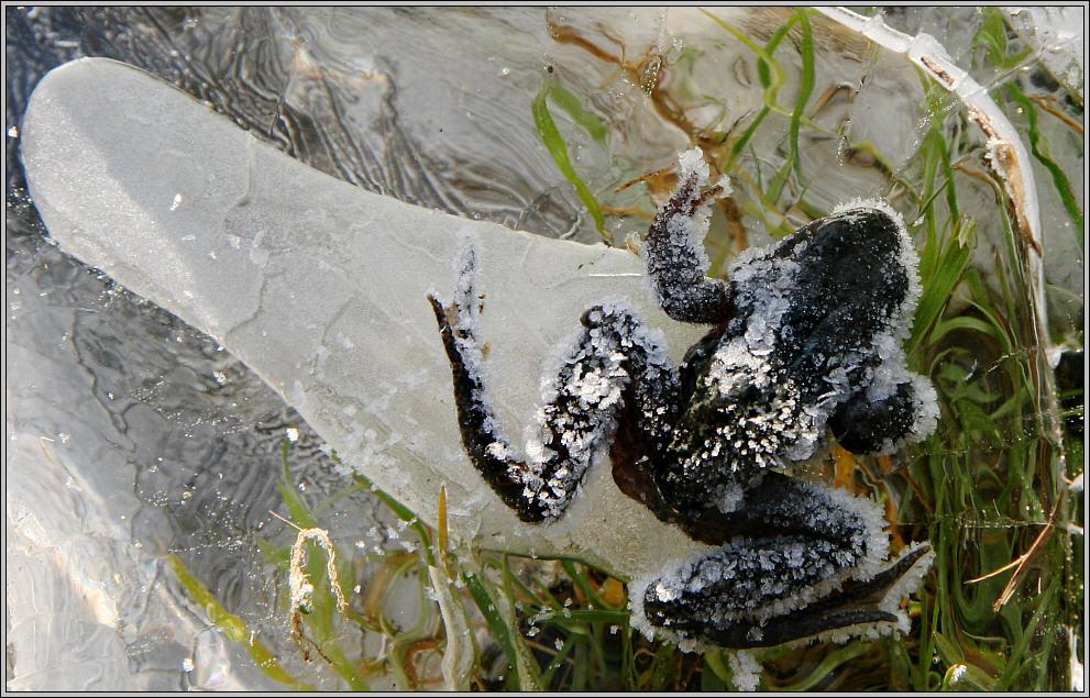 eingefroren frozen into the ice foto bild tiere wildlife amphibien reptilien. Black Bedroom Furniture Sets. Home Design Ideas