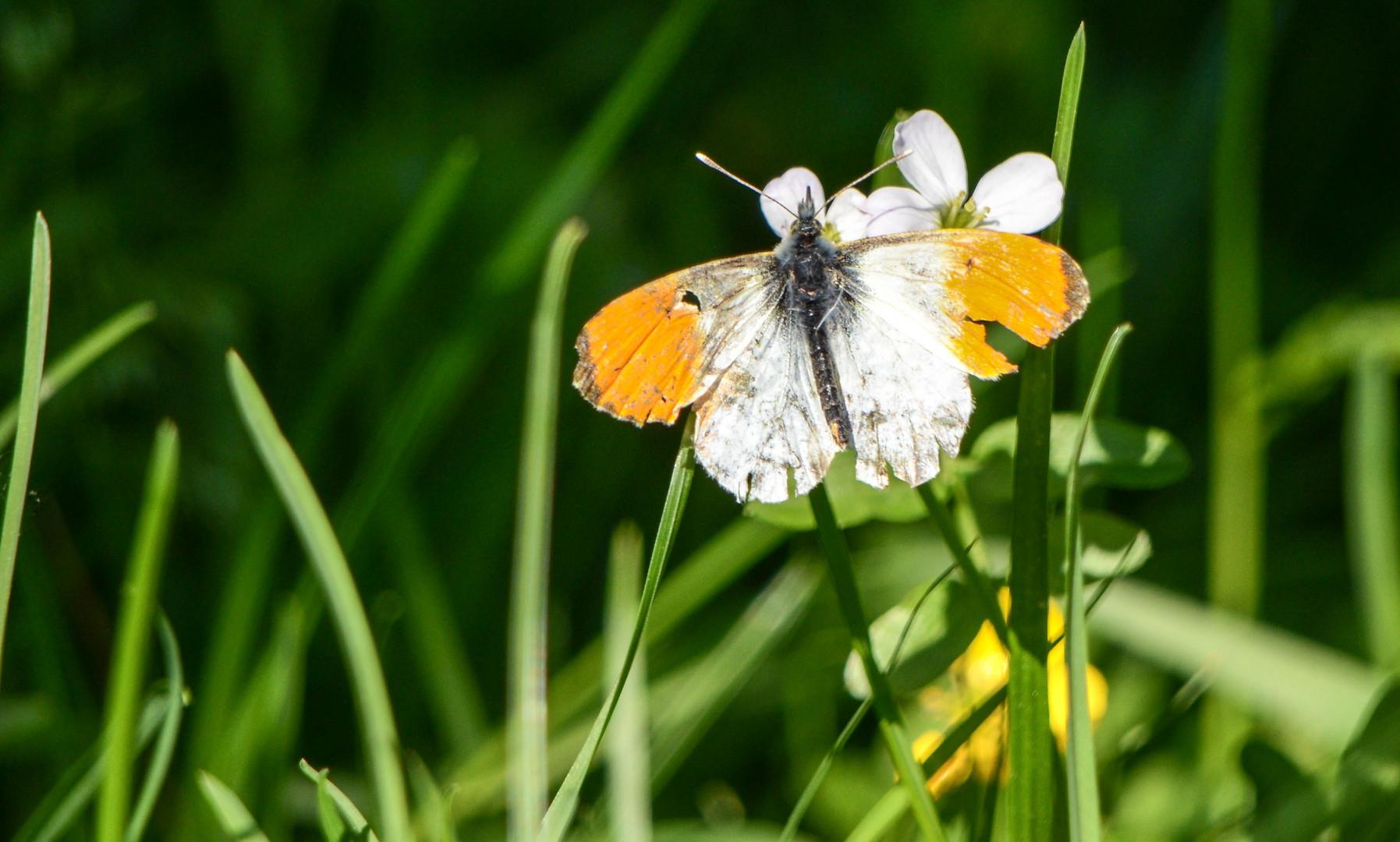 einheimischer Schmetterling ;-)