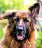 Einohr-Hund
