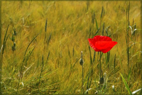 Einsam im Kornfeld