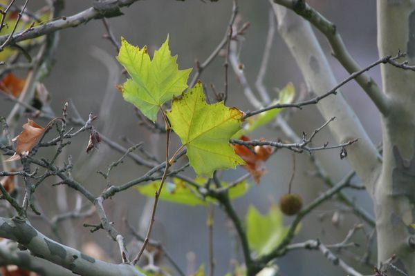 Einsame Ahornblätter