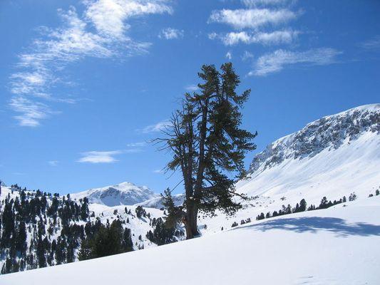 Einsame Arve im Verschneiten Hochgebirge