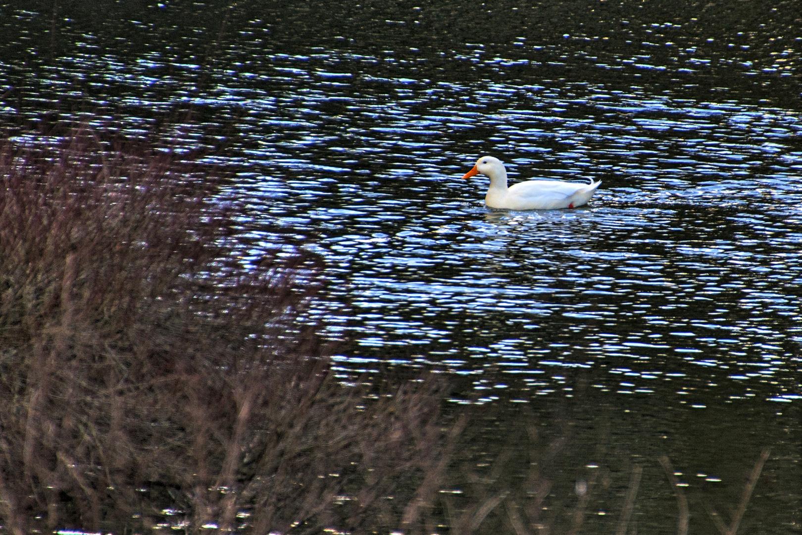 Einsame Ente im Schloßteich