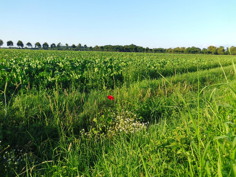 Einsame Mohnblume am Feldrand