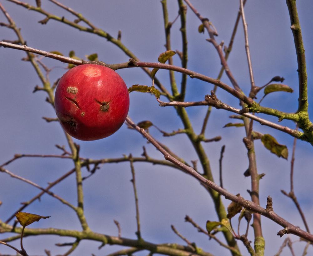 einsamer Apfel im November