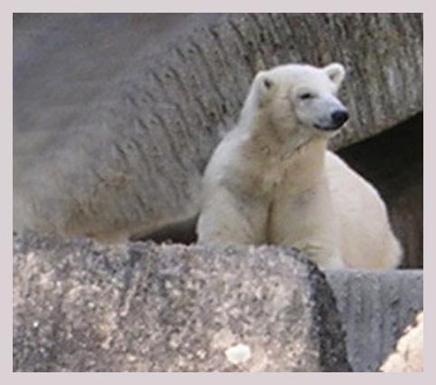 Einsamer Eisbär