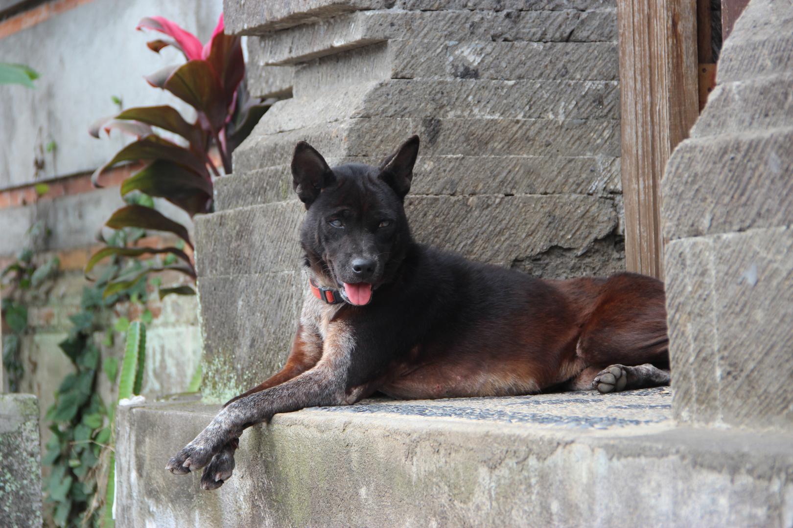 einsamer Hund in Bali