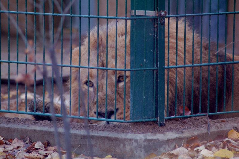 einsamer Löwe