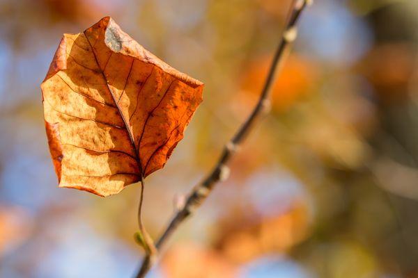 Einsames Herbstblatt