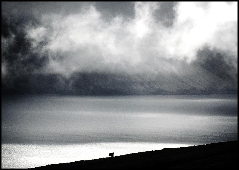 Einsames Schaf auf Kalsoy / Faeroer