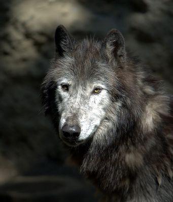 Einsames Wolfsgesicht