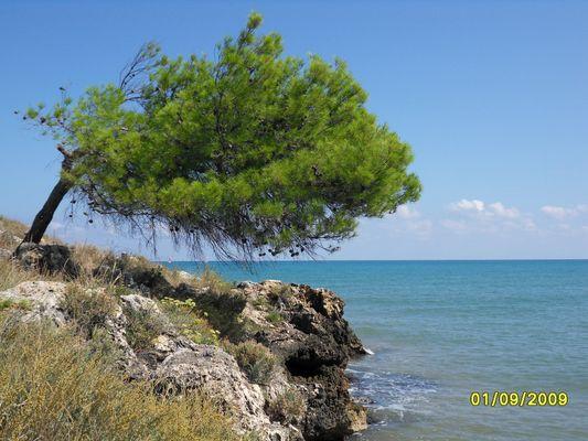 Einsamme Pinie am Meer