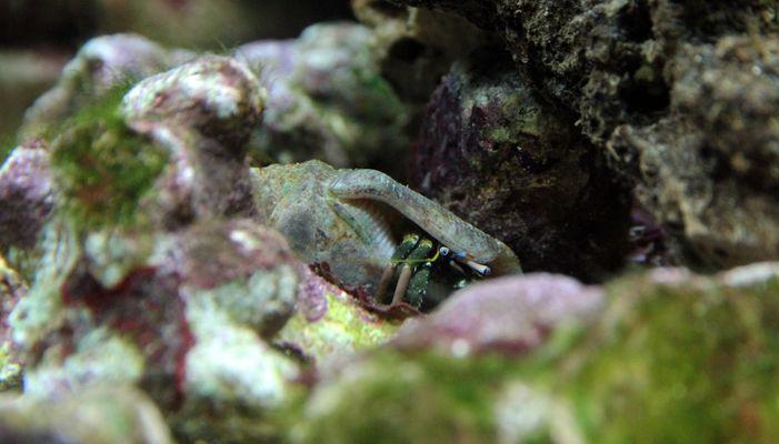 Einsiedlerkrebs im Nano Riff