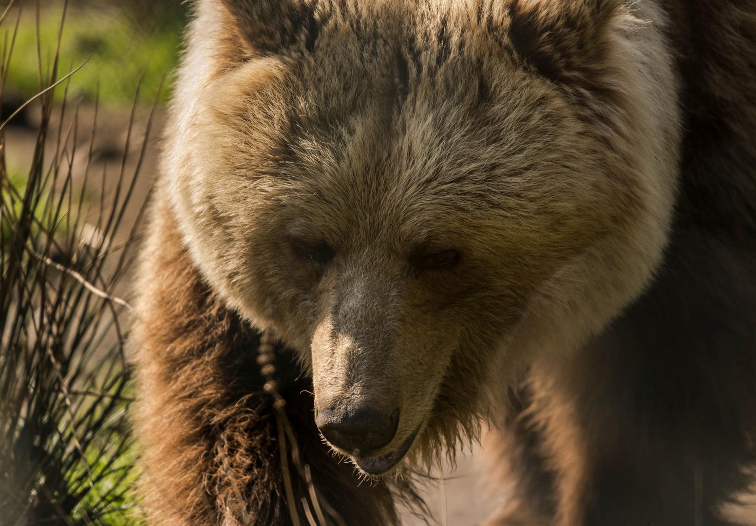 Einst geschundene Bären (1)