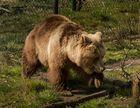 Einst geschundene Bären (2)