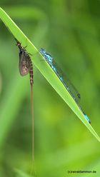 Eintagsfliege und Libelle auf schmalem Grat
